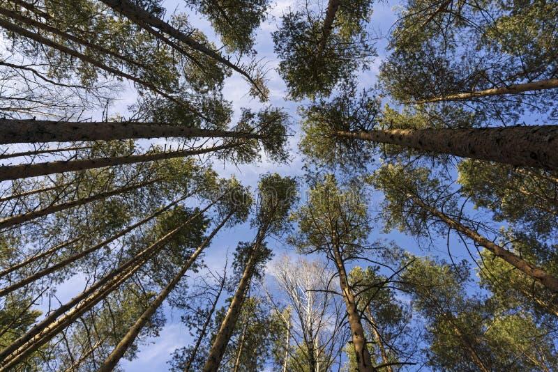 Coroas das árvores no céu de março fotografia de stock royalty free
