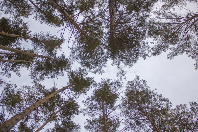 Coroas verdes de árvores coníferas contra uma opinião inferior cinzenta de céu azul imagem de stock