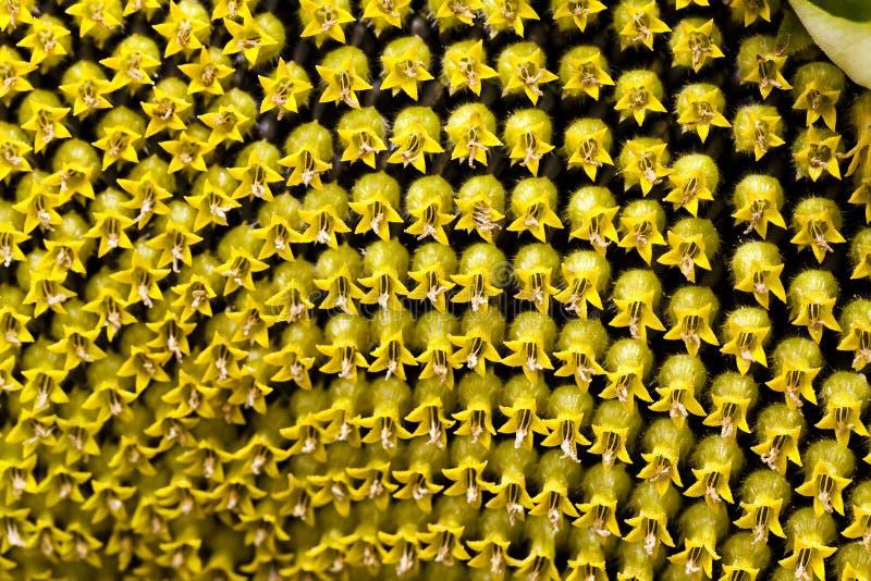 Corolla solblomma royaltyfria foton