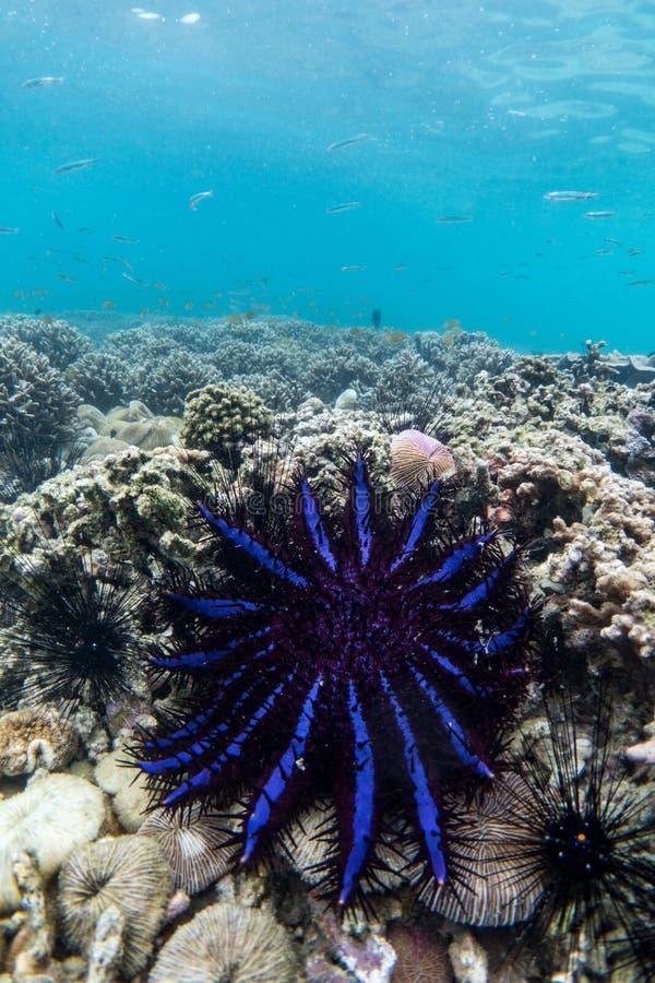 Corona de las estrellas de mar de las espinas en isla del dragón de Lord Loughbolough o del mar fotografía de archivo libre de regalías
