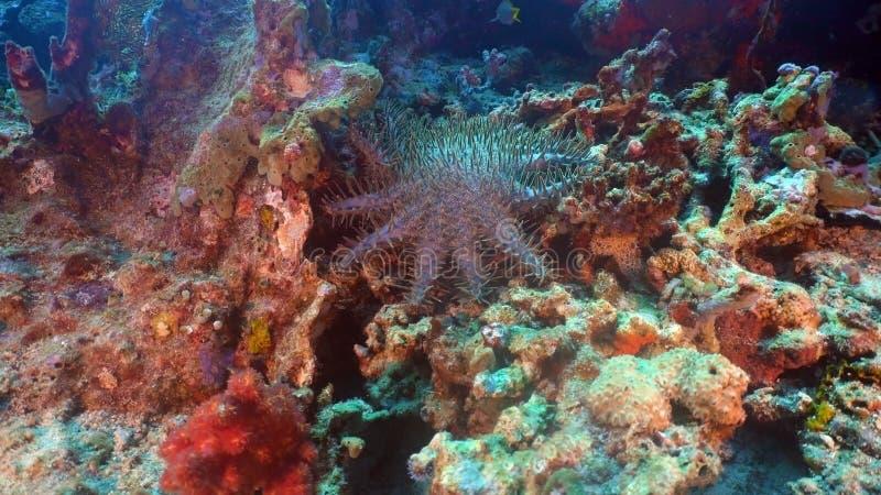 Corona de las estrellas de mar de la espina Bali, Indonesia fotografía de archivo libre de regalías