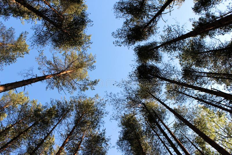 Corona de los árboles de pino en el fondo del cielo azul imágenes de archivo libres de regalías