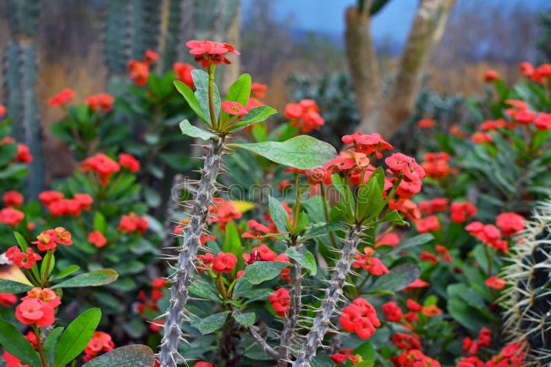 Corona de Milii del euforbio de la planta suculenta de las espinas con el tronco claveteado largo y las flores florecientes rojas imagen de archivo