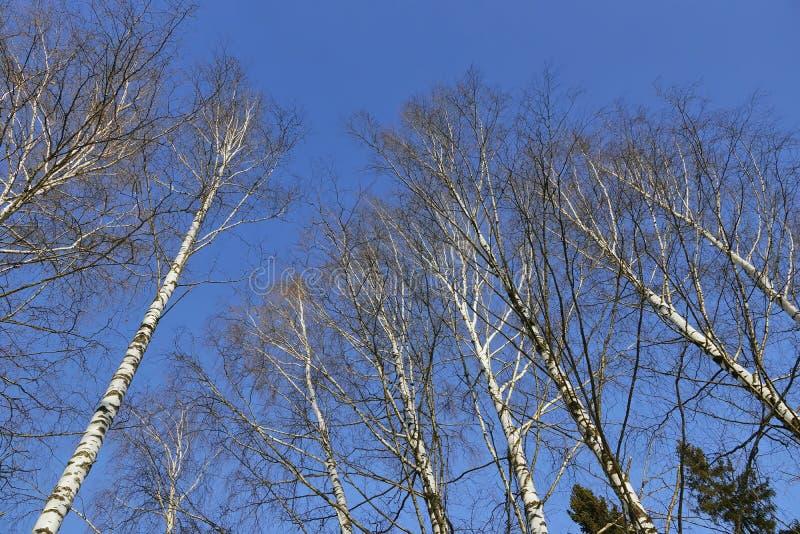 Corona degli alberi di betulla in primavera, emettente luce bianca nel cielo blu immagine stock libera da diritti
