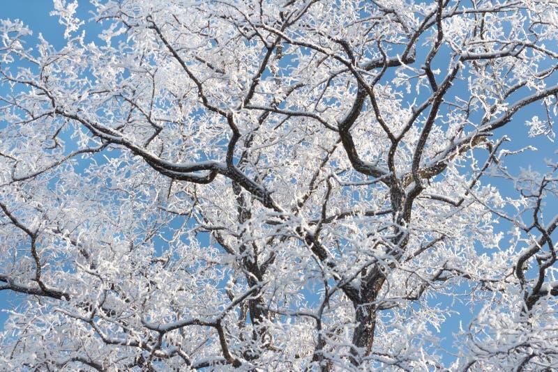 Corona del gelo del ghiaccio della neve di inverno di un albero dell'acacia contro la vista dal basso del cielo blu fotografie stock libere da diritti