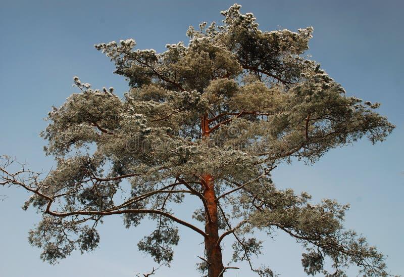 Corona del pino di Snowy fotografia stock libera da diritti