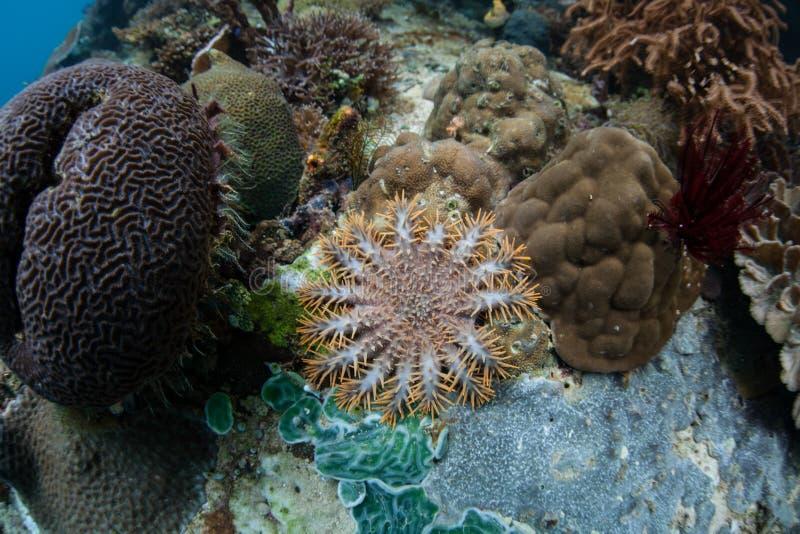 Corona giovanile delle stelle marine delle spine che si alimentano corallo fotografia stock libera da diritti