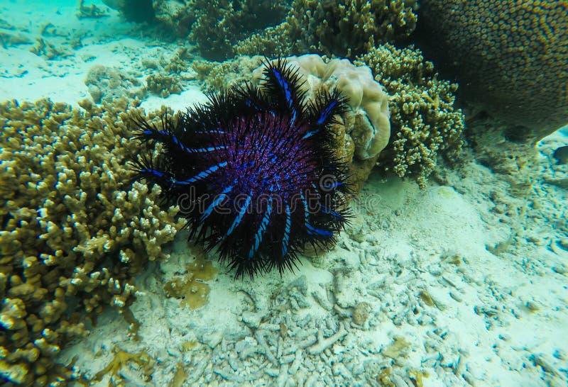 Corona grande de las estrellas de mar de las espinas fotografía de archivo libre de regalías