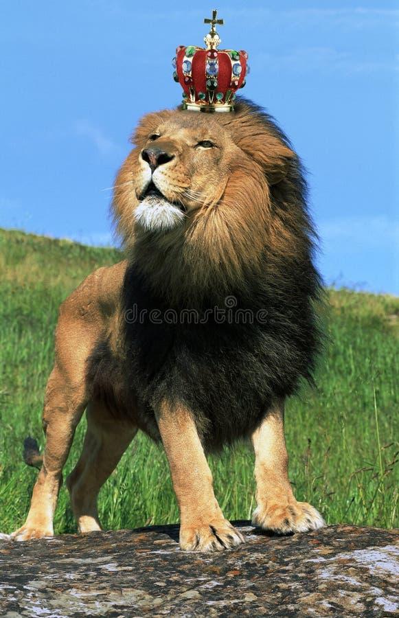 Corona que desgasta del león imágenes de archivo libres de regalías