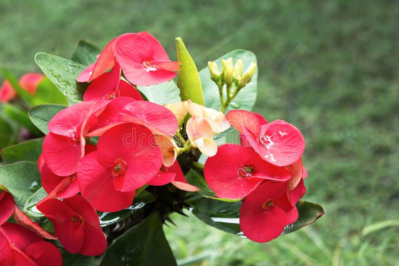 Corona roja de las flores de las espinas con el fondo verde de las hojas Flores de la espina de Cristo Milli del euforbio imagen de archivo