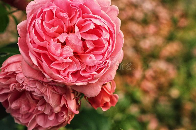corona rosa dei petali immagini stock