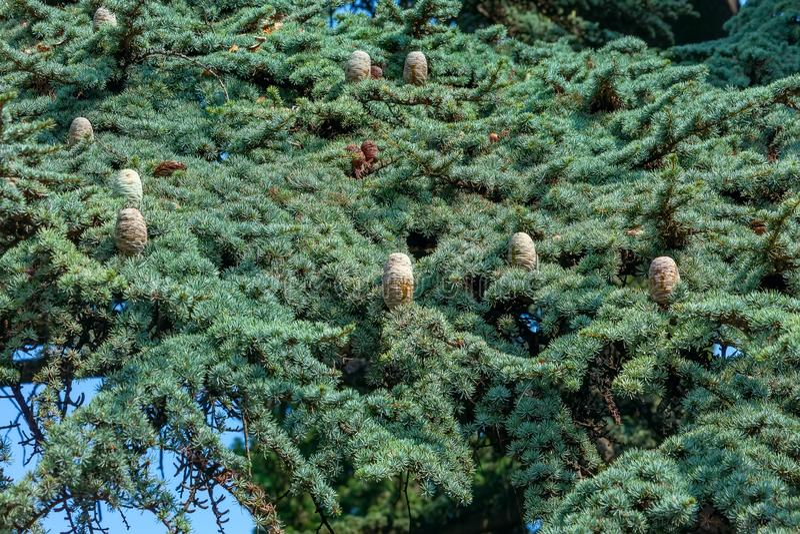 Corona scandinava di cedro siberiano con i coni Sfondo naturale fotografia stock