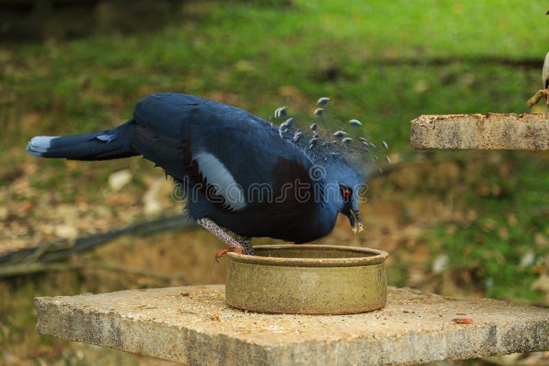 Coronar-paloma occidental y de Victoria fotos de archivo libres de regalías
