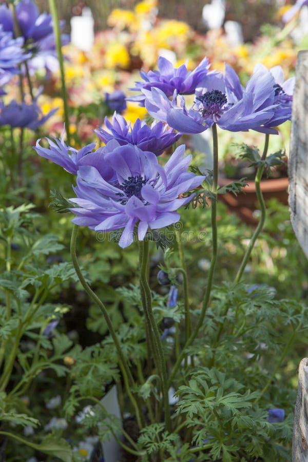Coronaria d'anémone dans le jardin images libres de droits