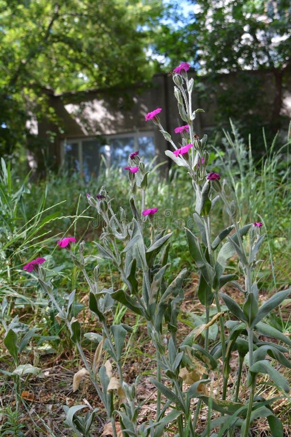 Coronaria di Lychnis Il rosa è aumentato licnide che i fiori si sviluppano nell'iarda della città Inverdimento urbano immagine stock libera da diritti