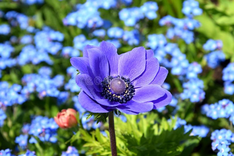 Coronaria púrpura de la anémona en el jardín, anémona de la amapola, primer del windflower en jardín imágenes de archivo libres de regalías