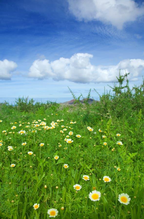 Coronarium de chrysanthemum images libres de droits