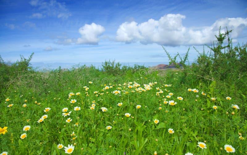 Coronarium de chrysanthemum photos libres de droits