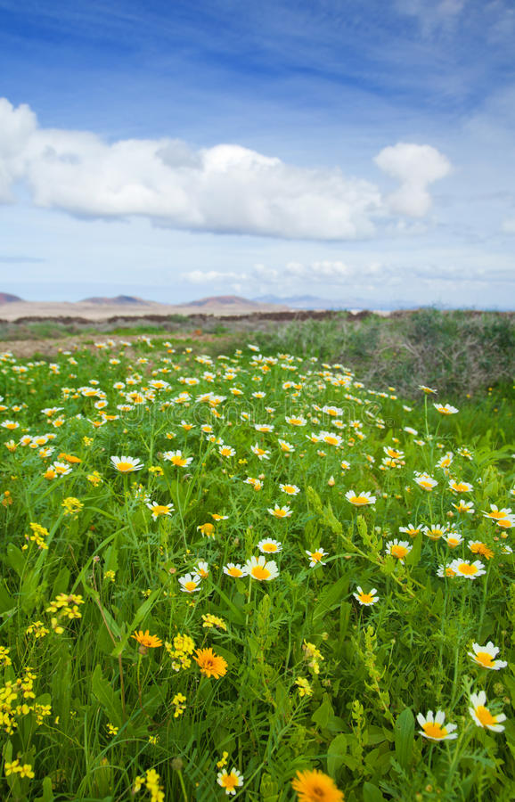 Coronarium de chrysanthemum image libre de droits