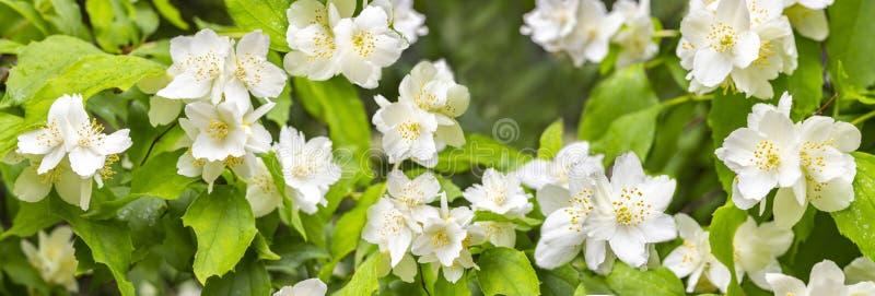 Coronarius de Philadelphus, jazmín falso, panorama de la bandera del fondo Flores blancas florecientes del cornejo inglés con el  fotos de archivo