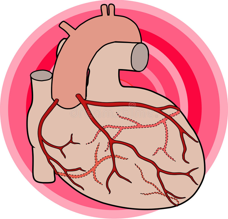 Coronary Arteries. Diagram of the course of the coronary arteries of the human heart vector illustration