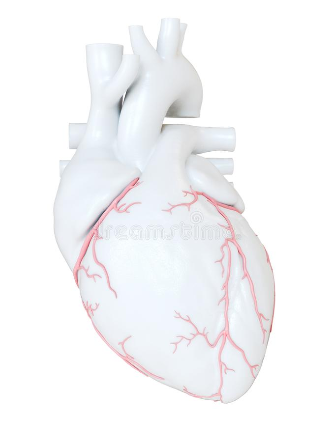 The coronary arteries. 3d rendered medically accurate illustration of the coronary arteries stock illustration