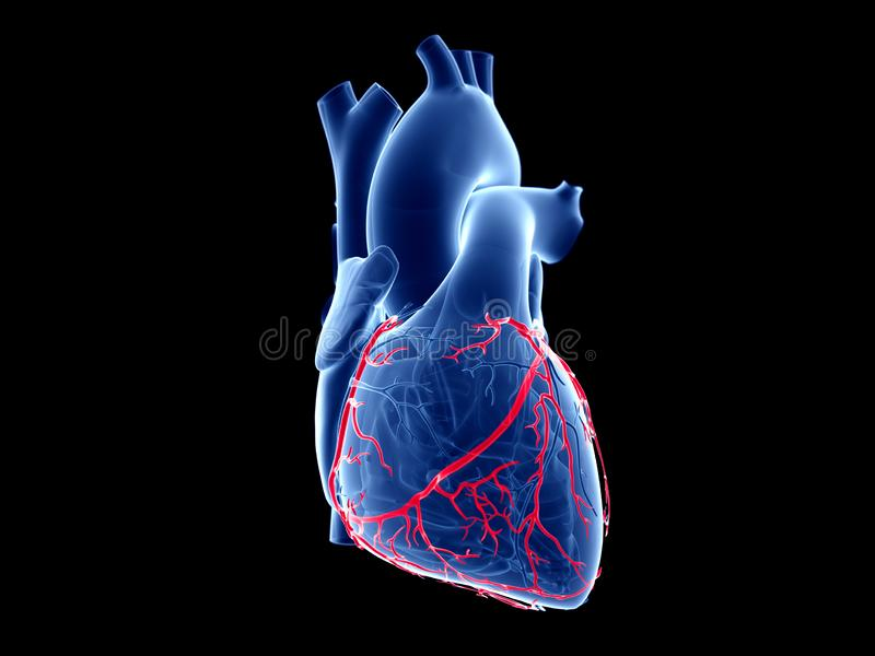 The coronary arteries. 3d rendered medically accurate illustration of the coronary arteries royalty free illustration