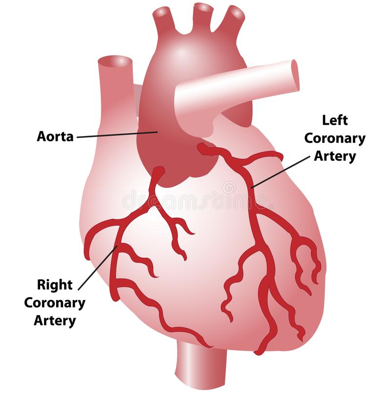 Coronary arteries of the heart. Scientific diagram of the coronary arteries of the heart, anterior view, including the aorta, left, and right coronary arteries vector illustration