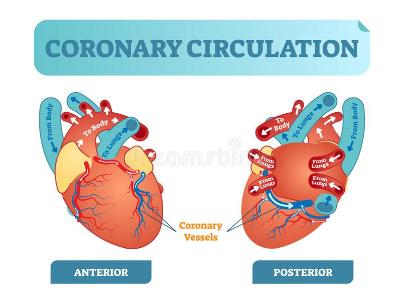Coronary circulation anatomical cross section diagram, labeled vector illustration scheme. Blood flow circuit. Coronary circulation anatomical cross section vector illustration