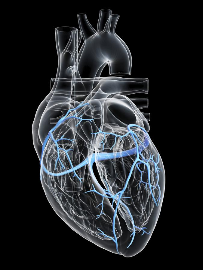 The coronary veins. 3d rendered medically accurate illustration of the coronary veins stock illustration