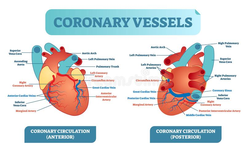 Coronary vessels anatomical health care vector illustration labeled diagram. Heart blood flow system with blood vessel scheme. vector illustration