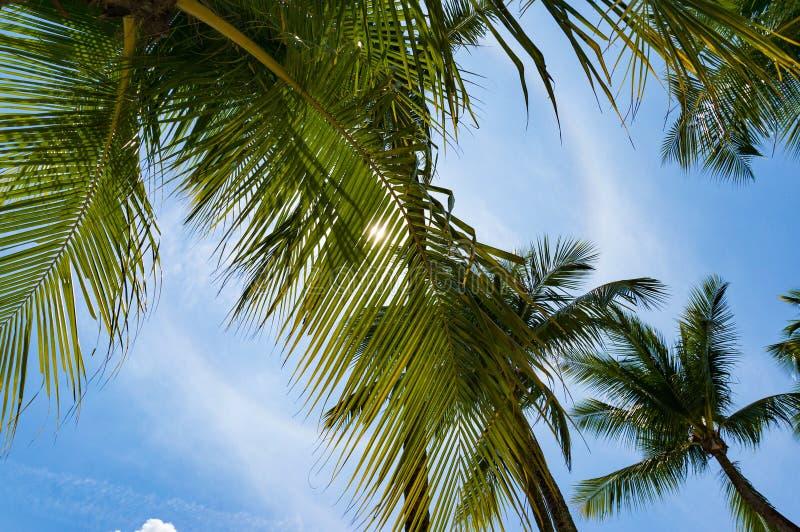 Coronas de las palmeras según lo visto de debajo fotos de archivo