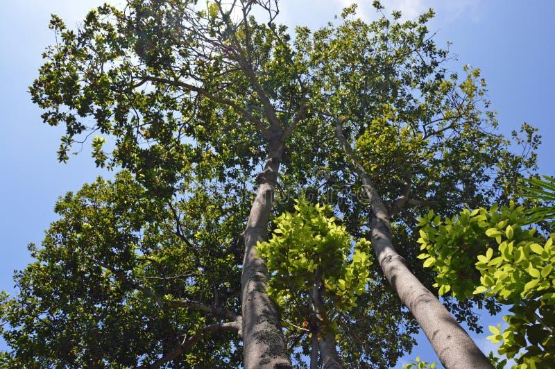 Coronas de los árboles del laurel fotografía de archivo libre de regalías