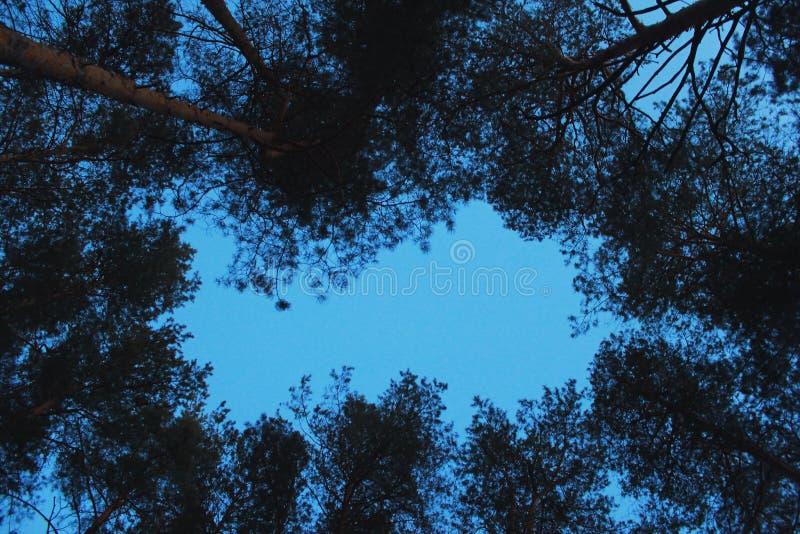 Coronas de pinos contra el cielo de igualación fotos de archivo