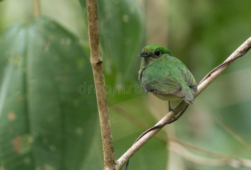 coronata Blu-incoronato di Manakin Lepidothrix, Panama immagine stock