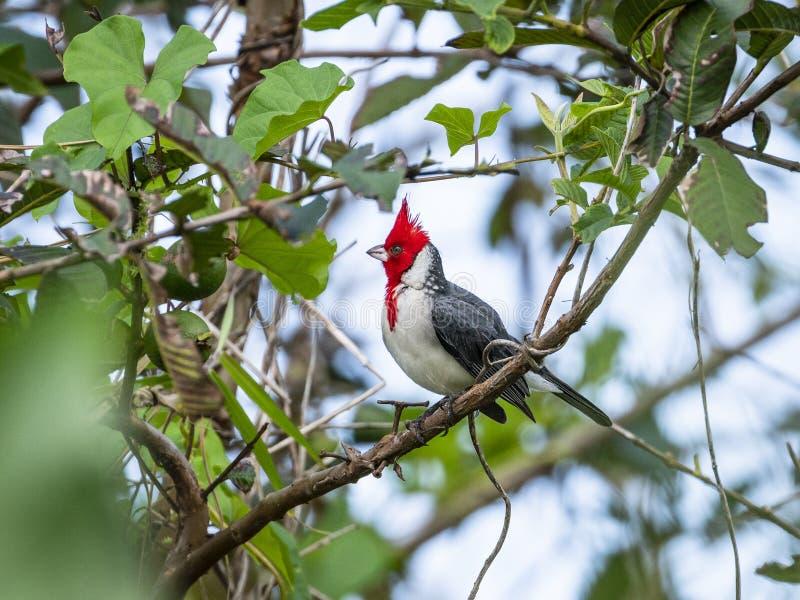 Coronata cardinal de cresta roja de Paroaria, Maui, Hawaii fotografía de archivo