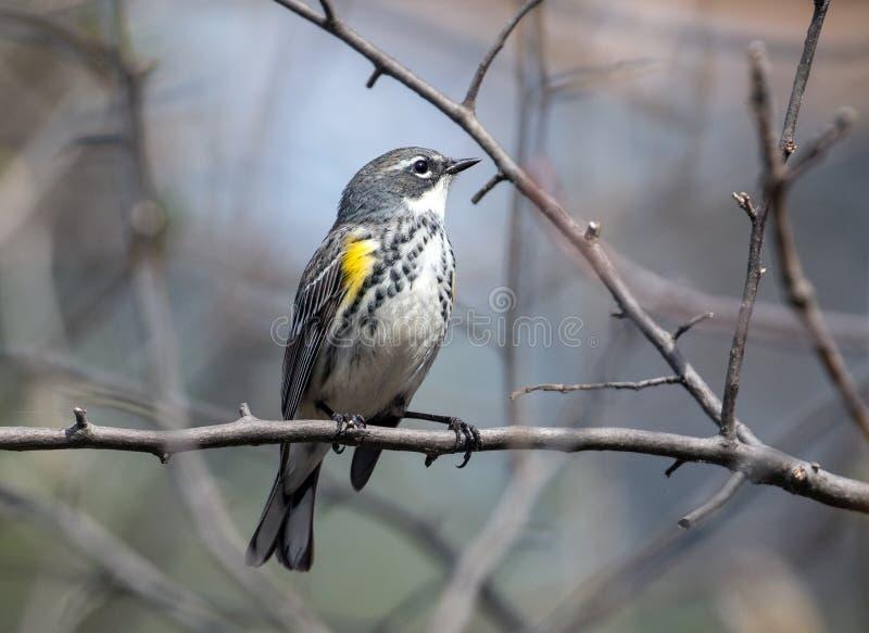 Coronata för Dendroica för guling-rumpedsångarefågel, Kanada royaltyfria foton