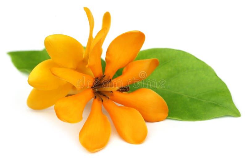 Coronata Gardenia или Gardenia Pinwheel стоковое изображение