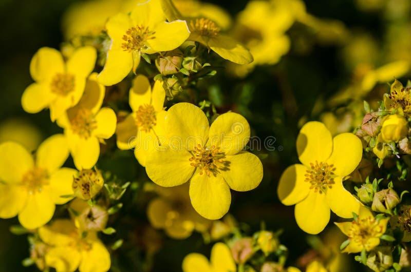 Coronation Thriumph flowers. 'Coronation Thriumph'-Dasiphora fruticosa flowers royalty free stock photos