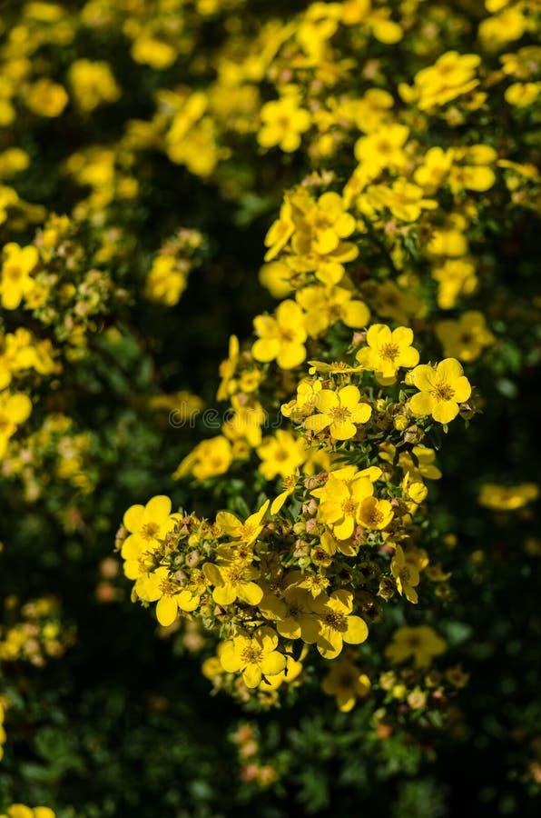 'Coronation Triumph' potentilla. Flowers in blossom royalty free stock photo