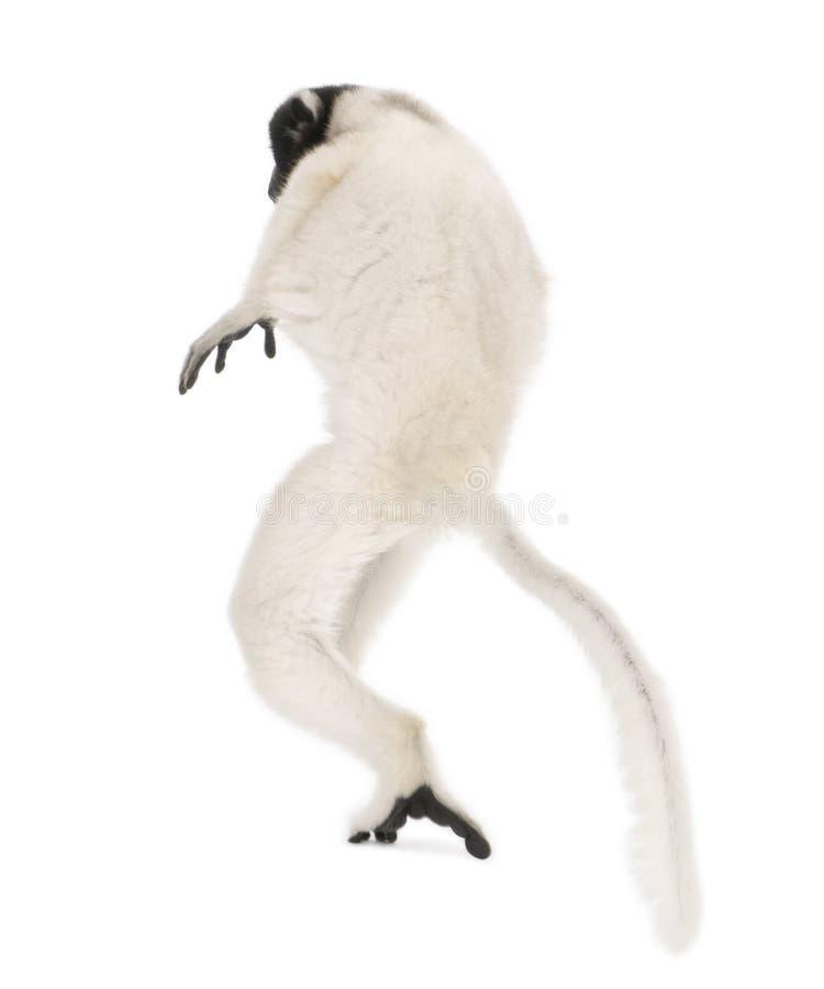 coronatus увенчало детенышей sifaka propithecus стоковое изображение