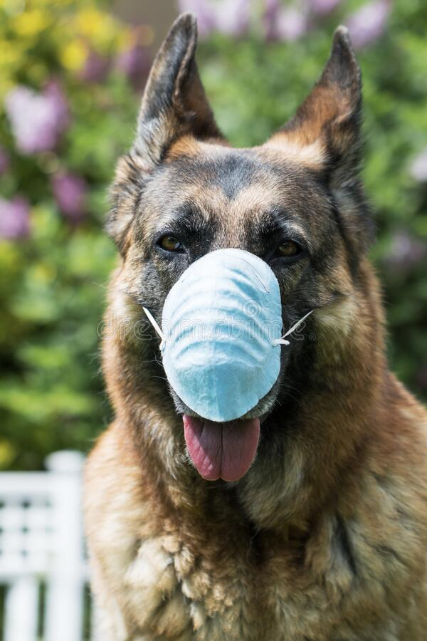 Free Coronavirus Mask On German Shepherd Dog Outside. Concept About Lockdown, Flatten The Curve, Social Distancing, State Of Emergency Royalty Free Stock Photo - 179083875