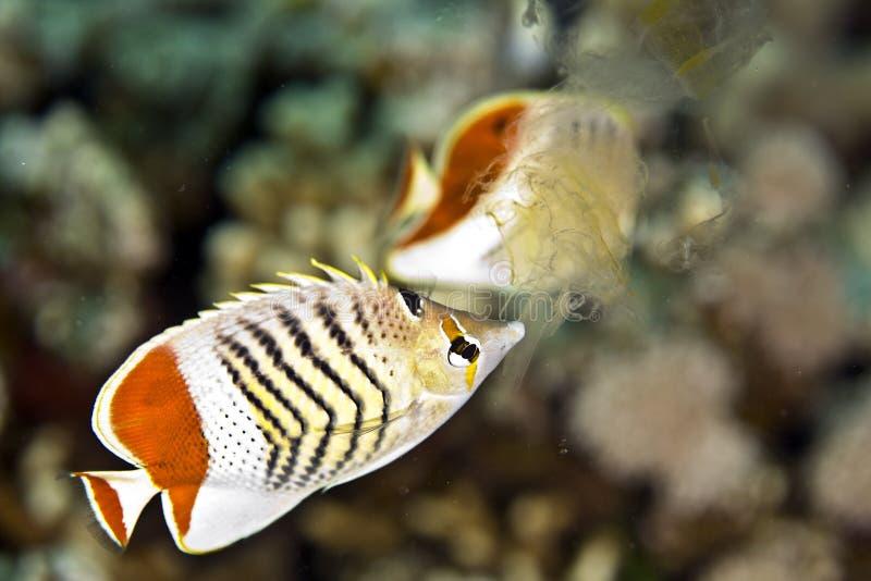 Corone el butterflyfish (el paucifasciatus del chaetodon) imagenes de archivo
