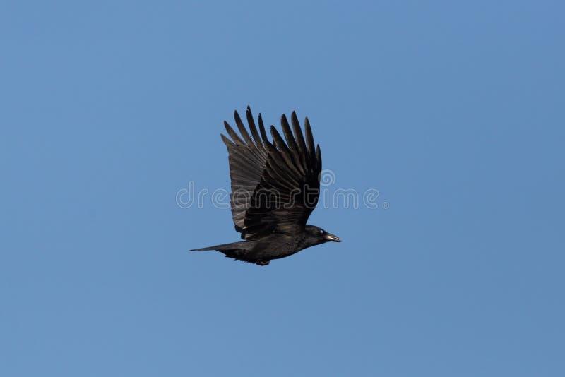 Corone van de kraaicorvus van het zijaanzichtaas tijdens de vlucht, blauwe hemel royalty-vrije stock afbeelding