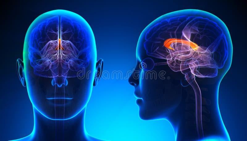 Corpo calloso femminile Brain Anatomy - concetto blu illustrazione vettoriale