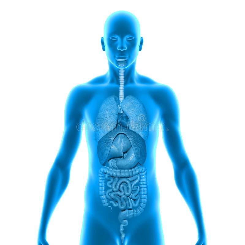Corpo com órgãos ilustração stock