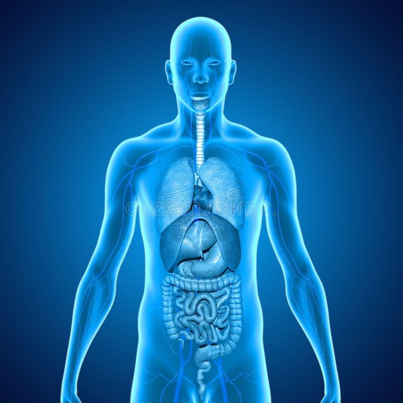 Corpo com órgãos ilustração royalty free
