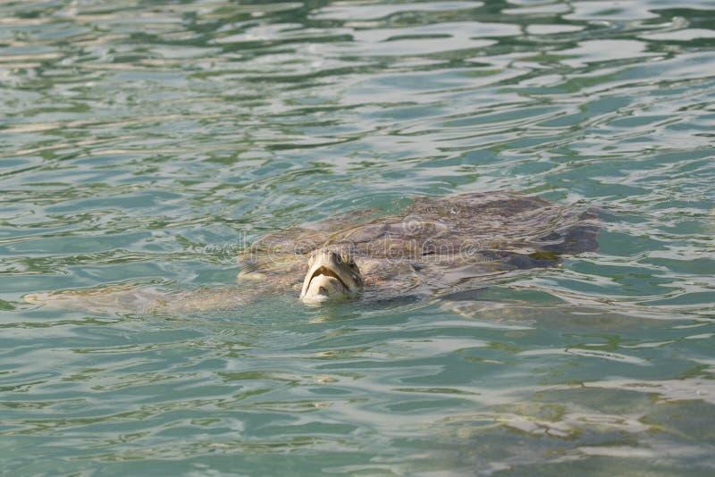 Corpo completo da tartaruga de mar verde da ilha de Grand Cayman fotos de stock royalty free