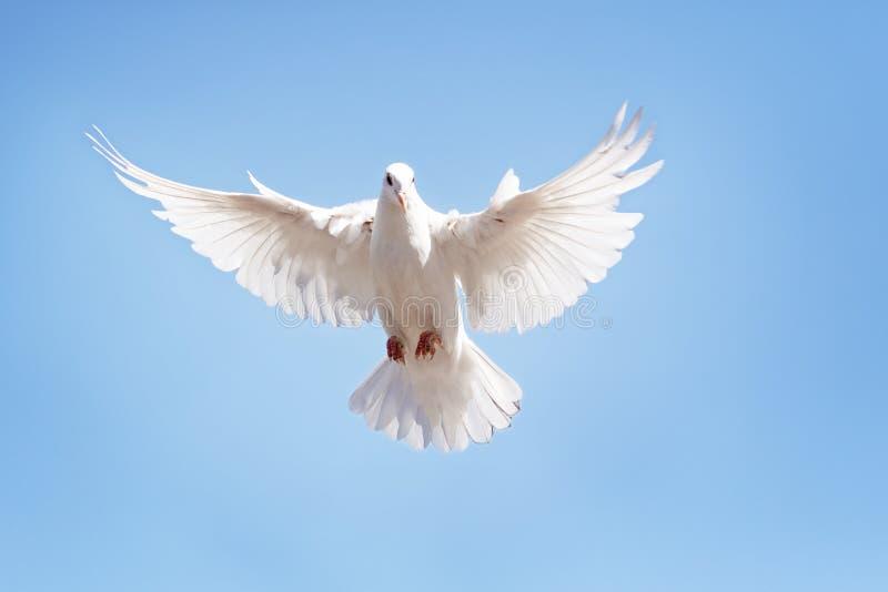 Corpo completo do voo do pombo da pena branca contra o céu azul claro imagem de stock royalty free