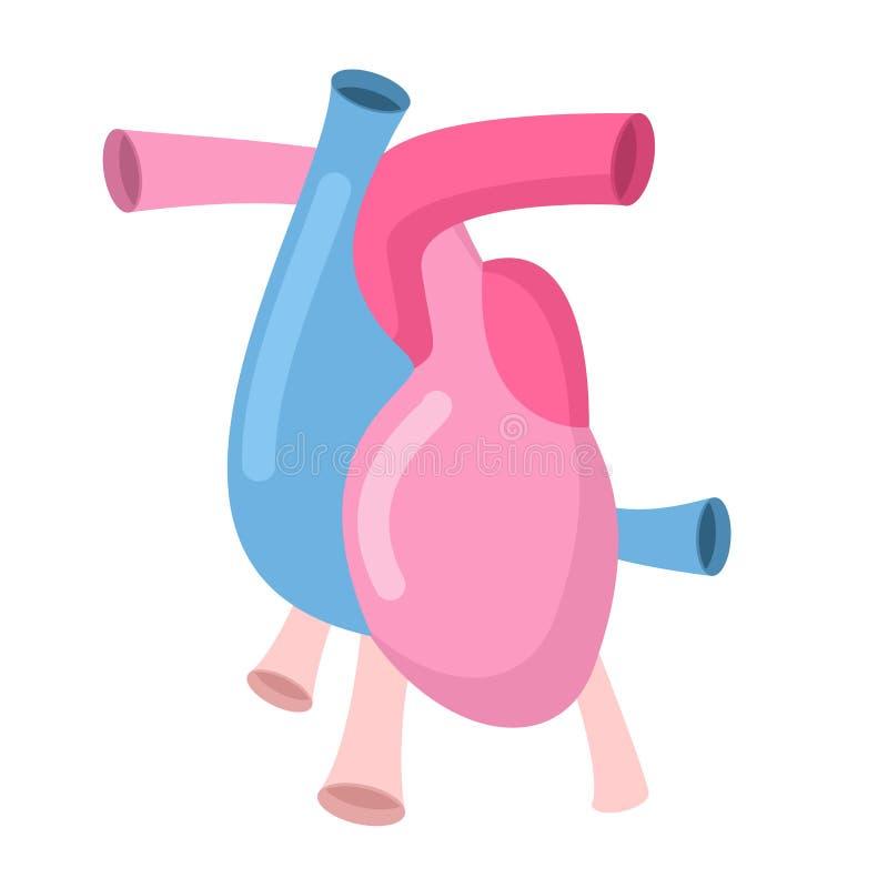 Corpo di anatomia del cuore isolato Atrii e ventricoli Vene ed arte illustrazione di stock